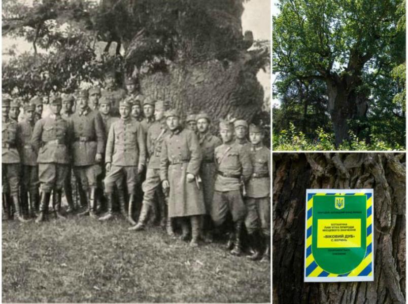Найстаріше дерево Львівщини, або Легенди веринського дуба